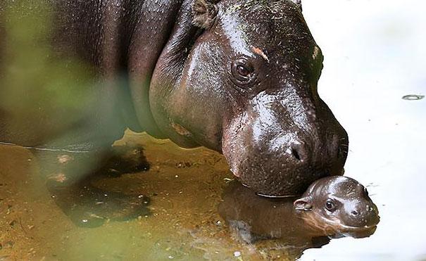 tenero-cucciolo-ippopotamo-pericolo-estinzione-nuota-zoo-australia-5