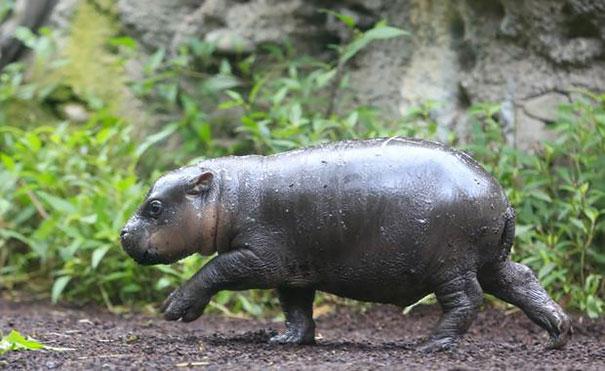 tenero-cucciolo-ippopotamo-pericolo-estinzione-nuota-zoo-australia-7