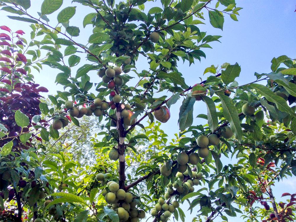 albero-40-frutti-innesti-sam-van-aken-1