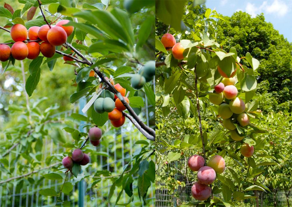 albero-40-frutti-innesti-sam-van-aken-2