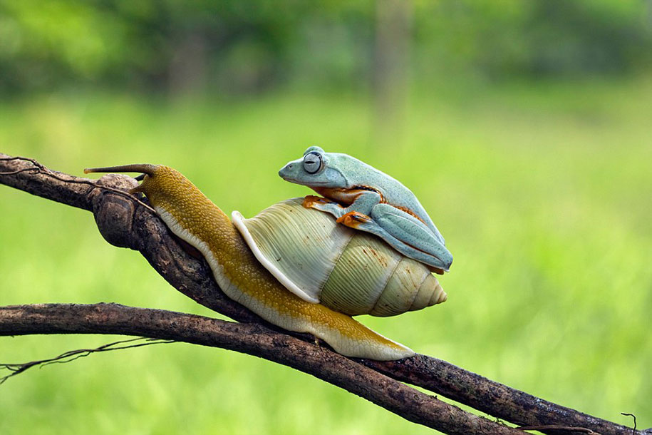 animali-divertenti-rana-cavalca-lumaca-kurito-asfheen-indonesia-1