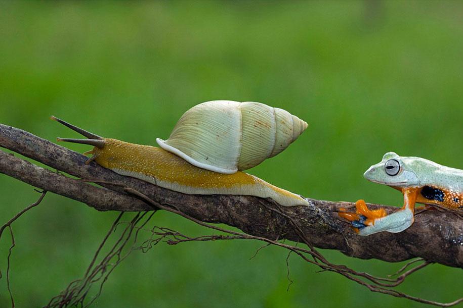 animali-divertenti-rana-cavalca-lumaca-kurito-asfheen-indonesia-2