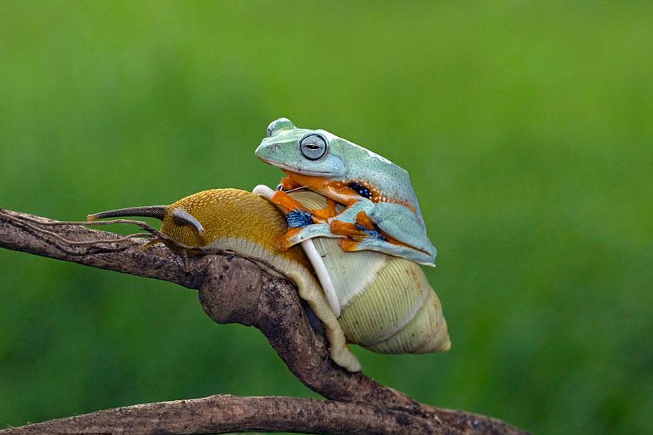 animali-divertenti-rana-cavalca-lumaca-kurito-asfheen-indonesia-3