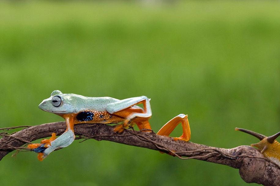animali-divertenti-rana-cavalca-lumaca-kurito-asfheen-indonesia-4
