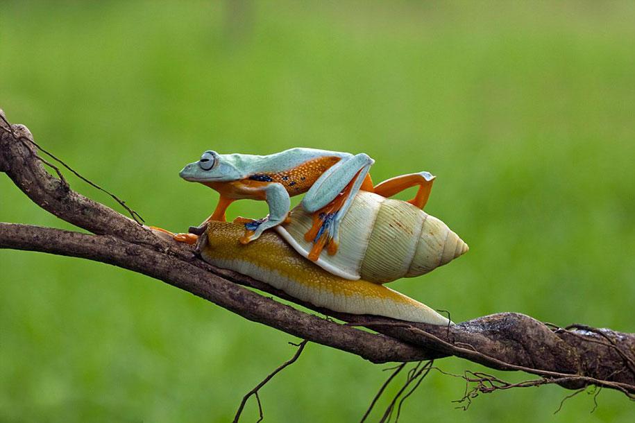 animali-divertenti-rana-cavalca-lumaca-kurito-asfheen-indonesia-5