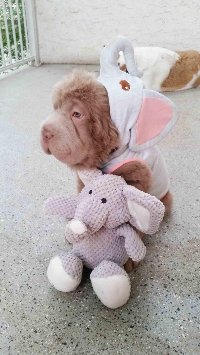 cane-cucciolo-carino-sembra-orsacchiotto-tonkey-01