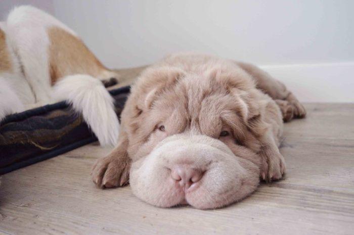 cane-cucciolo-carino-sembra-orsacchiotto-tonkey-02