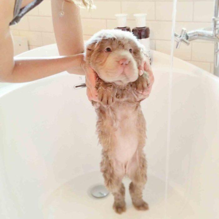 cane-cucciolo-carino-sembra-orsacchiotto-tonkey-03