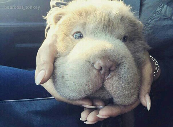 cane-cucciolo-carino-sembra-orsacchiotto-tonkey-04