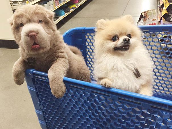 cane-cucciolo-carino-sembra-orsacchiotto-tonkey-05