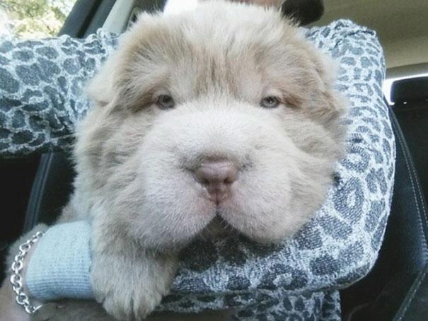 cane-cucciolo-carino-sembra-orsacchiotto-tonkey-07