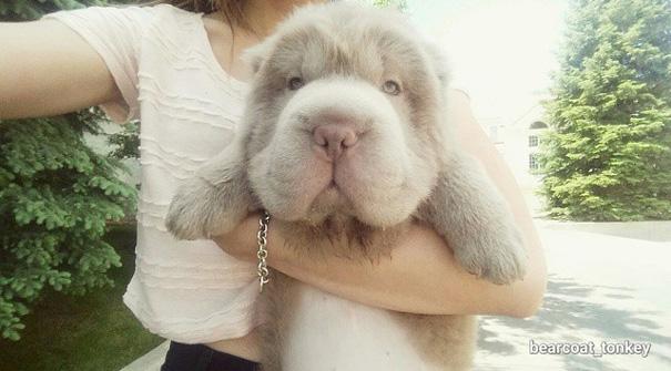 cane-cucciolo-carino-sembra-orsacchiotto-tonkey-08