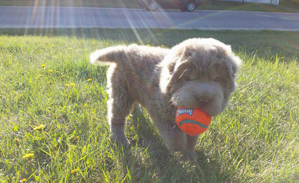 cane-cucciolo-carino-sembra-orsacchiotto-tonkey-10