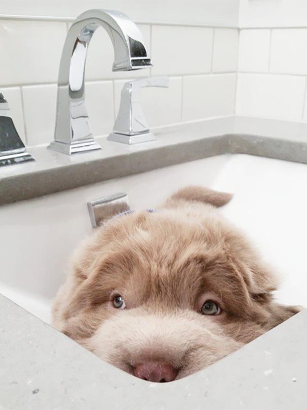 cane-cucciolo-carino-sembra-orsacchiotto-tonkey-11