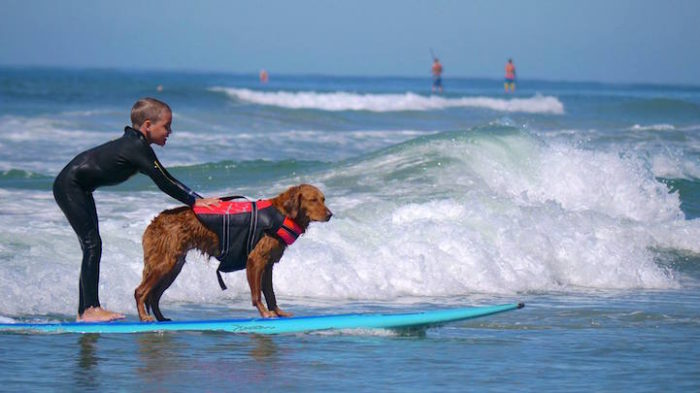 cane-da-terapia-golden-retriever-surf-ricochet-05