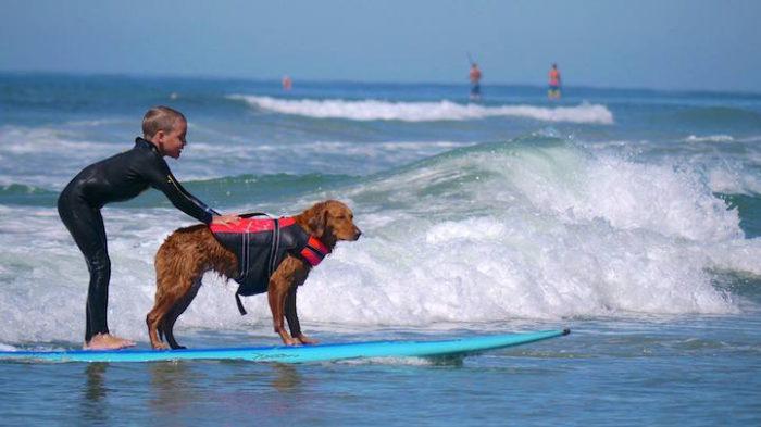 cane-da-terapia-golden-retriever-surf-ricochet-05