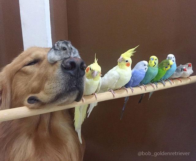 cane-golden-retriever-uccellini-criceto-san-paolo-brasile-01