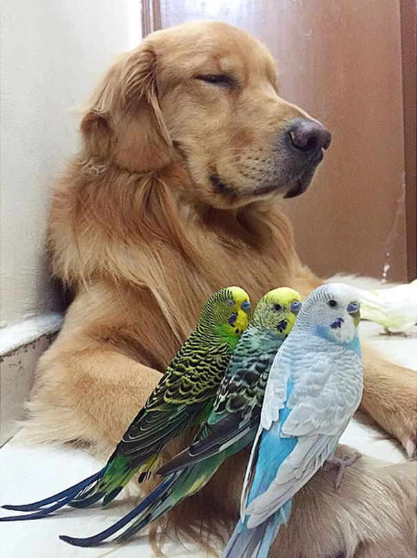 cane-golden-retriever-uccellini-criceto-san-paolo-brasile-04