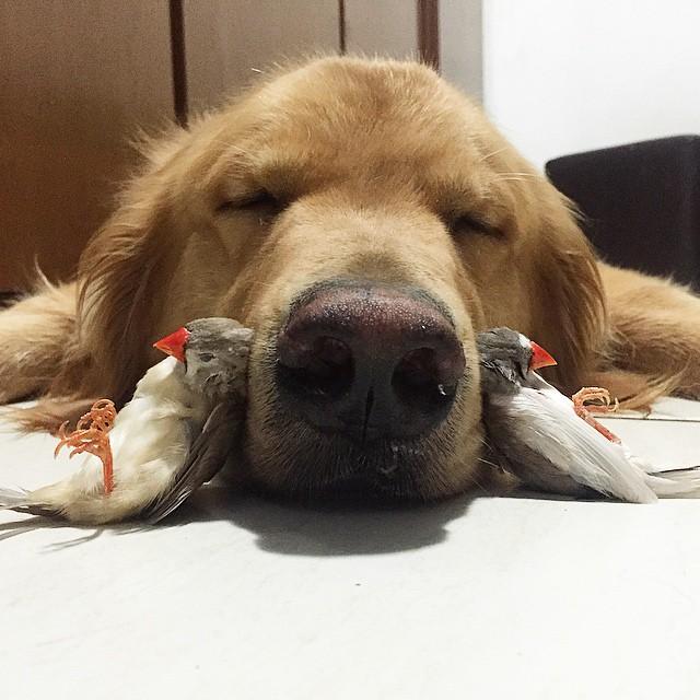 cane-golden-retriever-uccellini-criceto-san-paolo-brasile-05