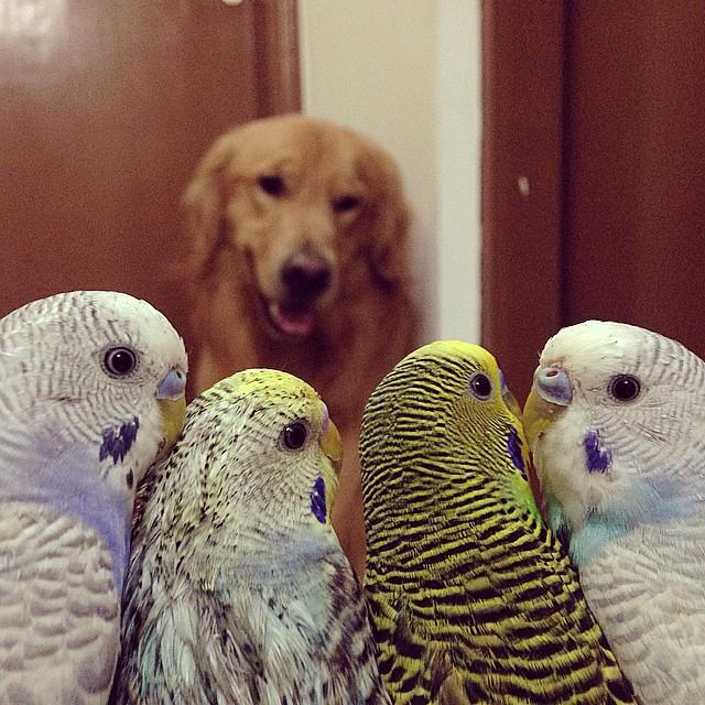 cane-golden-retriever-uccellini-criceto-san-paolo-brasile-07