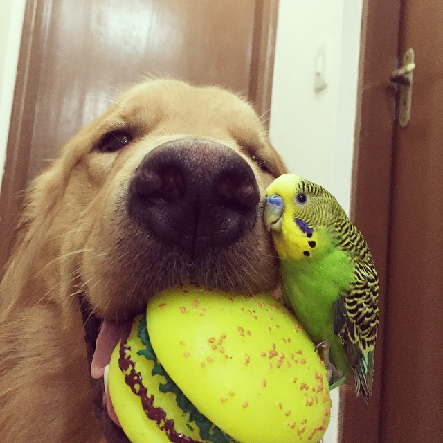 cane-golden-retriever-uccellini-criceto-san-paolo-brasile-09