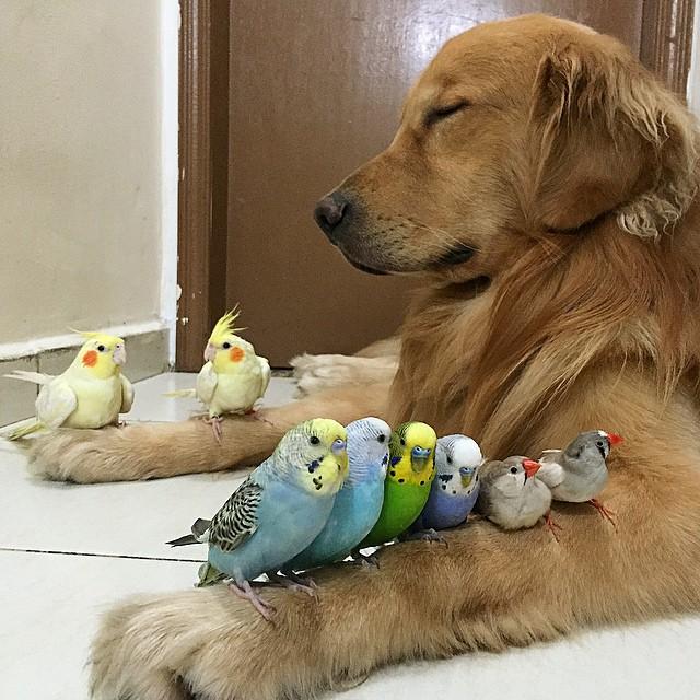 cane-golden-retriever-uccellini-criceto-san-paolo-brasile-11