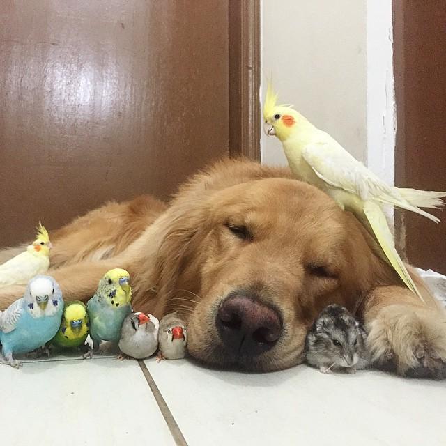 cane-golden-retriever-uccellini-criceto-san-paolo-brasile-15