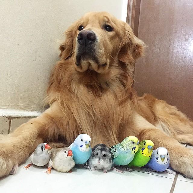 cane-golden-retriever-uccellini-criceto-san-paolo-brasile-16