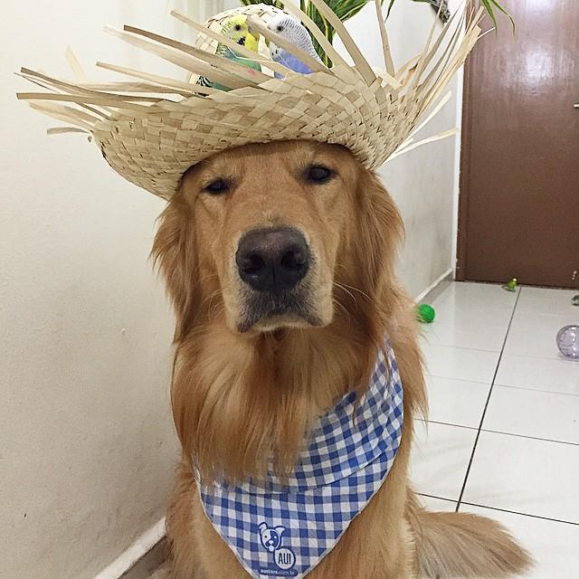 cane-golden-retriever-uccellini-criceto-san-paolo-brasile-21
