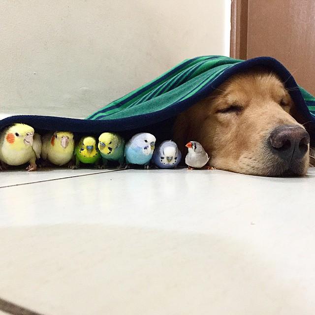 cane-golden-retriever-uccellini-criceto-san-paolo-brasile-22