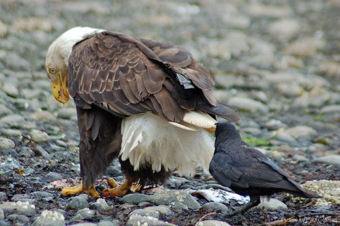corvi-beccano-mordono-coda-animali-cornacchie-gazze-1
