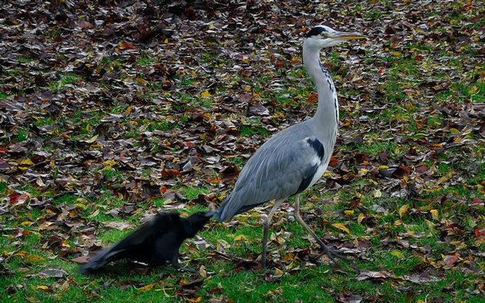 corvi-beccano-mordono-coda-animali-cornacchie-gazze-3