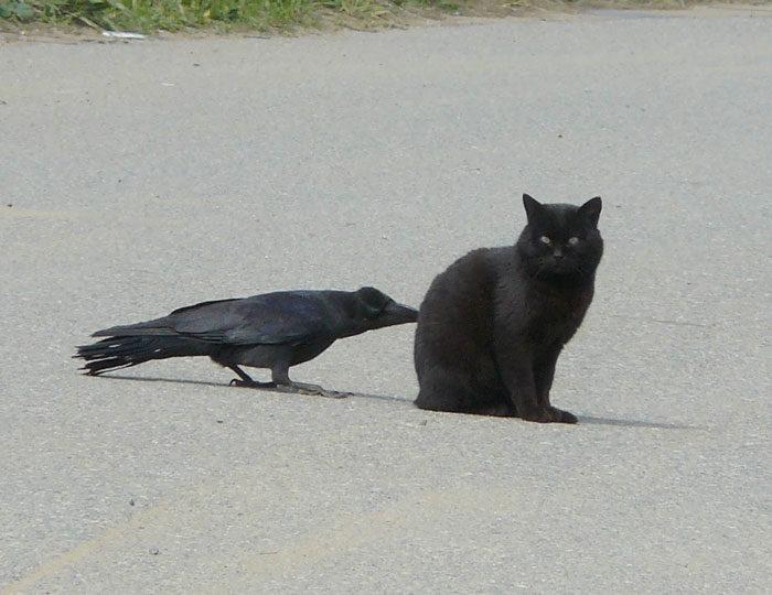 corvi-beccano-mordono-coda-animali-cornacchie-gazze-4