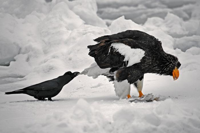 corvi-beccano-mordono-coda-animali-cornacchie-gazze-5