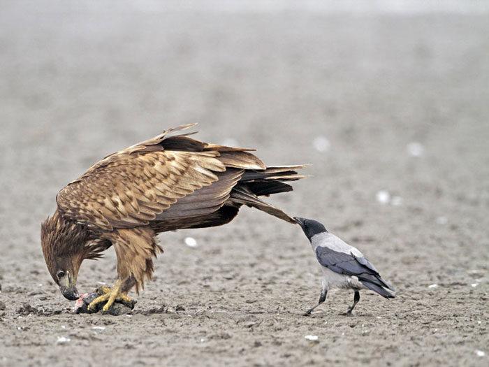 corvi-beccano-mordono-coda-animali-cornacchie-gazze-6