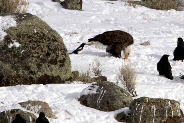 corvi-beccano-mordono-coda-animali-cornacchie-gazze-7