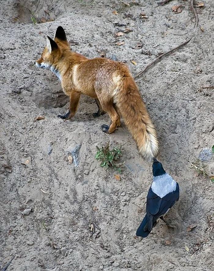 corvi-beccano-mordono-coda-animali-cornacchie-gazze-8