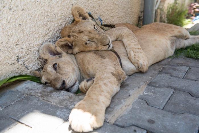 cuccioli-leoni-fratello-sorella-gaza-01