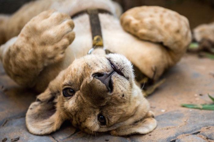 cuccioli-leoni-fratello-sorella-gaza-02