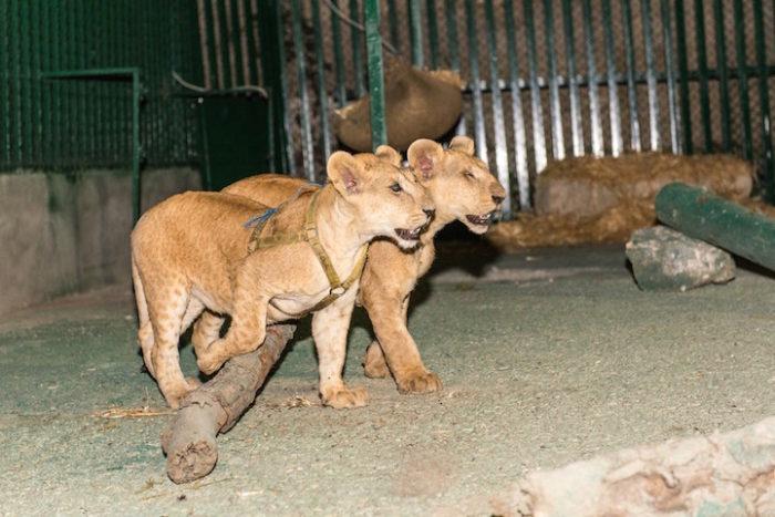 cuccioli-leoni-fratello-sorella-gaza-03