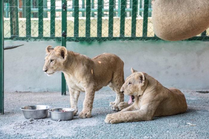 cuccioli-leoni-fratello-sorella-gaza-04