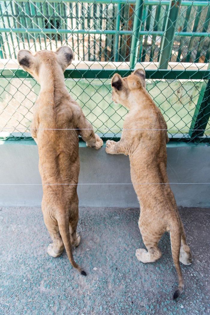 cuccioli-leoni-fratello-sorella-gaza-05