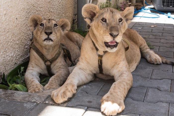 cuccioli-leoni-fratello-sorella-gaza-06