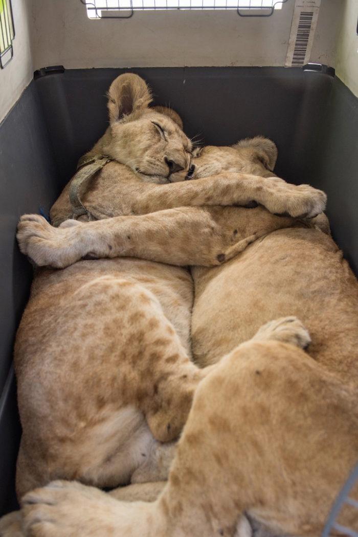 cuccioli-leoni-fratello-sorella-gaza-07