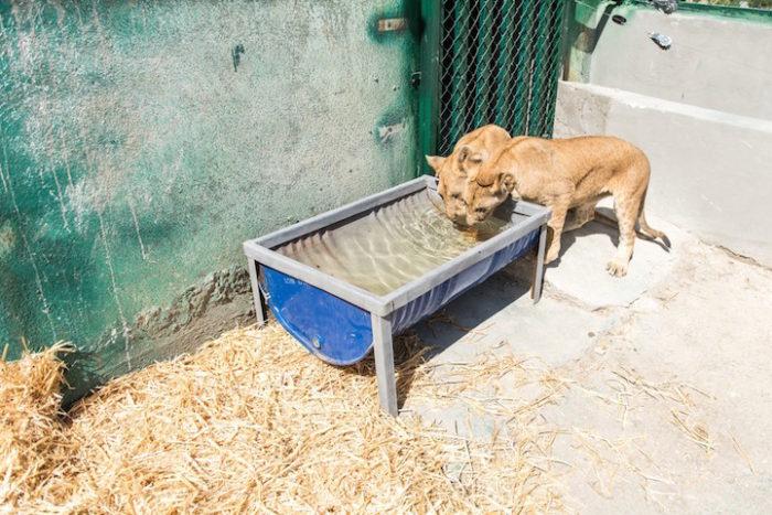 cuccioli-leoni-fratello-sorella-gaza-08