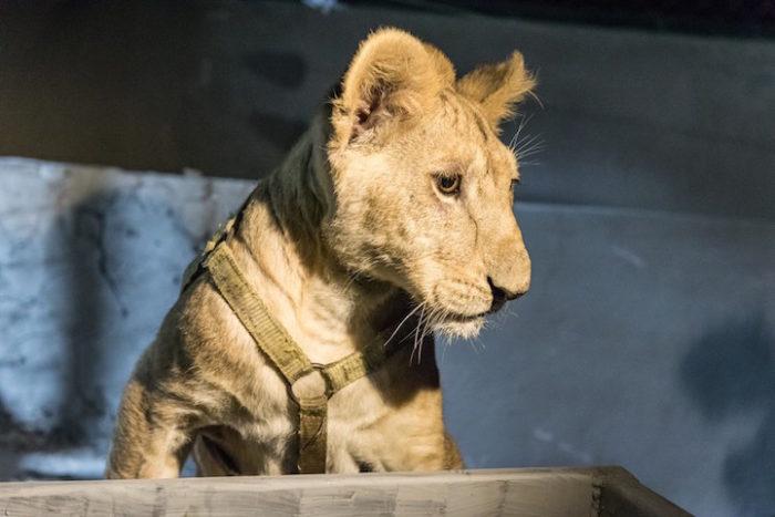 cuccioli-leoni-fratello-sorella-gaza-10