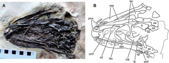 dinosauro-alato-scoperto-in-cina-antenato-velociraptor-4