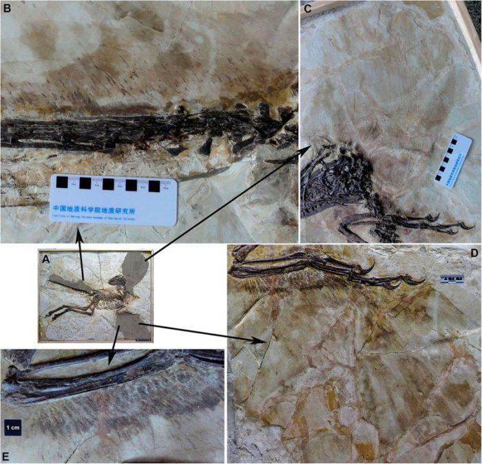 dinosauro-alato-scoperto-in-cina-antenato-velociraptor-5