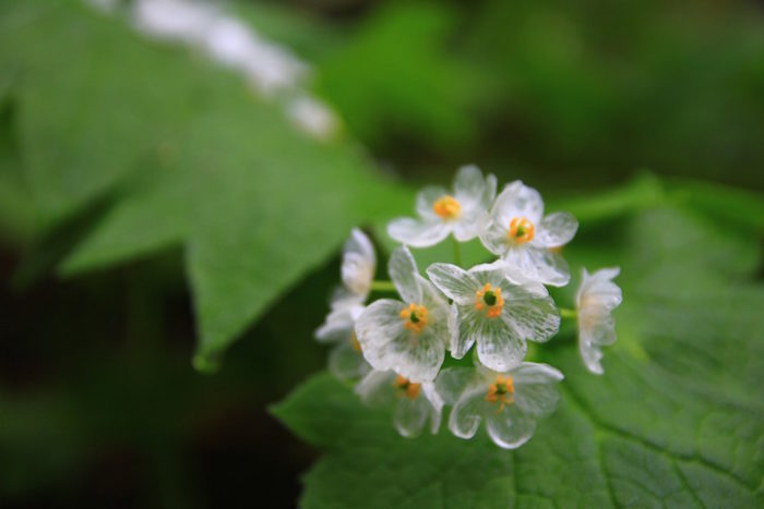 fiori-scheletro-Diphylleia-Grayi-petali-trasparenti-pioggia-03