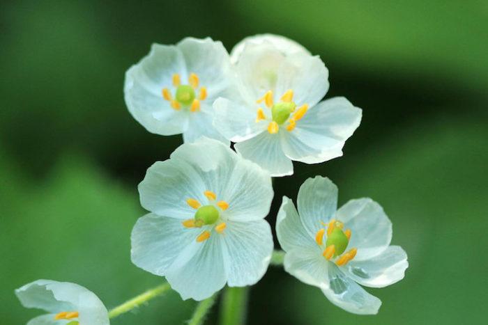 fiori-scheletro-Diphylleia-Grayi-petali-trasparenti-pioggia-04